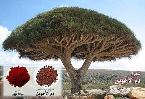 شجرة ددم الأخوين Socotra_dragon_tree2