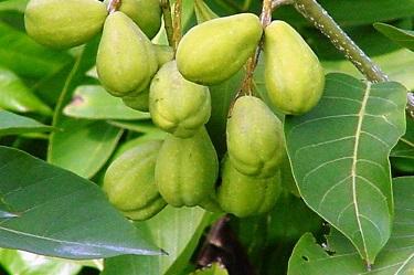 معلومات عن عشبة الأهليلج Terminalia-chebula-Haritaki