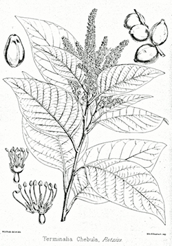 عشبة الإهليلج الأسود Terminalia_chebula