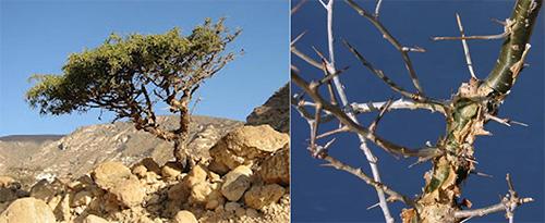 صمغ المُـرّ Myrrh Myrrh-tree